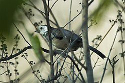 White-headed Brush-Finch - South Ecuador S4E9179 (22765143613).jpg