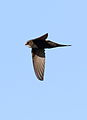 White-rumped swift, Apus caffer, at Suikerbosrand Nature Reserve, Gauteng, South Africa (23326828726).jpg
