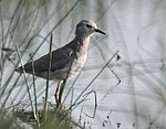White-tailed Lapwing I MG 9541.jpg