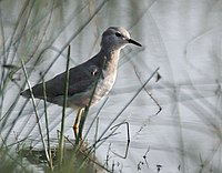 White-tailed Lapwing I MG 9541
