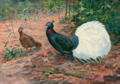 White-tailed Wattled Pheasant by George Edward Lodge.png