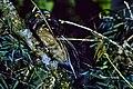 White-throated Screech-Owl.jpg