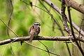 White-throated sparrow (32997771774).jpg