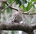 White-winged Dove (6901508258).jpg