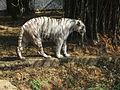 White Tiger 6.JPG