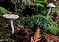 White mushrooms (22224509115).jpg