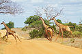 Why did the giraffe cross the road? (5232715954).jpg