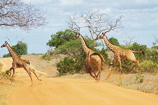 Why did the giraffe cross the road? (5232715954)
