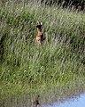 Wildes Reh auf Elbdeich Fischbeck Flut 2013.jpg
