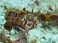Winged pipefish (Halicampus macrorhynchus) (47058252062).jpg