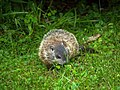 Woodchuck offspring in our yard (5826408888).jpg