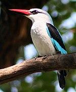 150px-WoodlandKingfisher.jpg