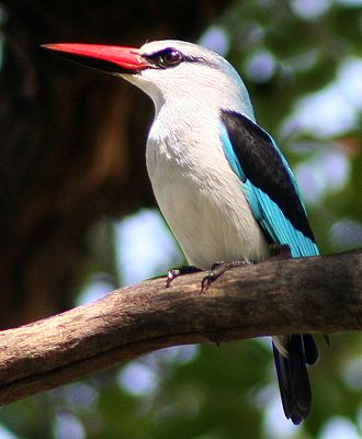 Alcian blue stain - Image: Woodland Kingfisher