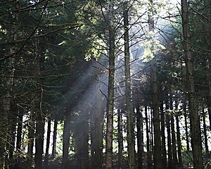 English: Woodland Light A shaft of sunlight fi...