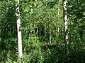 Woodland near Stanton under Bardon - geograph.org.uk - 514010.jpg