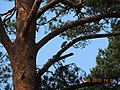 Woodpecker viborg - panoramio.jpg