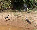 Woolly-necked Storks.. Ciconia episcopus - Flickr - gailhampshire.jpg