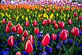 World of Tulips - panoramio.jpg