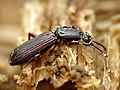 Wrinkled Bark Beetle (29371636032).jpg