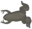 Xenopus laevis togopic.png
