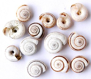 Spire (mollusc) - Very low-spired shells of the land snail species Xerolenta obvia
