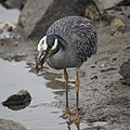 Yellow-crowned night Heron eating a crab (48274778097).jpg