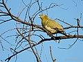 Yellow-footed Green Pigeon at Bharatpur I IMG 8763.jpg