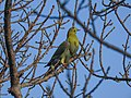 Yellow-footed green pigeon 03.jpg