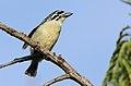 Yellow-fronted tinkerbird, Pogoniulus chrysoconus, at Walter Sisulu National Botanical Garden, South Africa (16005816742).jpg