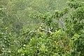 Yellow Oreole (Sunderbans Safari) (26552392829).jpg