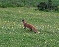 Yellow mongoose - Flickr - Ragnhild & Neil Crawford.jpg