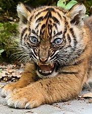 Young tiger cub at Burgers' Zoo Arnhem.jpg