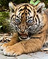 Young tiger cub at Burgers' Zoo Arnhem.jpg