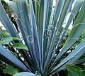 Yuca filamentosa leaves.jpg