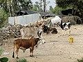 Zebus in Ethiopia 02.jpg