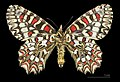 photo : Papillon Proserpine