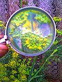 Zooming a plant with magnifying glass.jpg