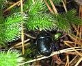Zuk.w.lesie.JPG