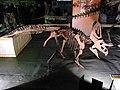 Zuniceratops skeleton.jpg