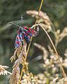 Zygaena filipendulae in the Aamsveen, The Netherlands.jpg