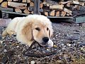 """"""" 15 - ITALY - Golden Retriver puppy in Italy - dog eat or chews rubber.jpg"""