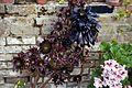 'Aeonium arboreum' at the Cactus House in Victorian Garden Quex House Birchington Kent England 3.jpg