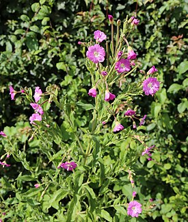 'Epilobium hirsutum' ~ Great Hairy Willowherb at Shipley, West Sussex, England 01.JPG