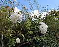 'Rosa Iceberg' in a hedge at Shipley, West Sussex, Sussex, England.JPG