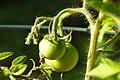 'scotia' tomatoes (7669486526).jpg