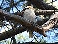(1)Kookaburra Centennial Park-7.jpg