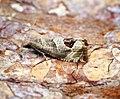 (1175) Notocelia uddmanniana (35008148661).jpg