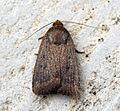 (2299) Mouse Moth (Amphipyra tragopoginis) (9523977417).jpg