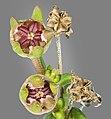 (MHNT) Delosperma cooperi - Fruit.jpg