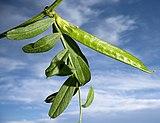 (MHNT) Vicia sativa - immature fruit.jpg